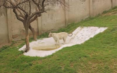 لاہور چڑیا گھر میں سفید شیروں کا نام رکھنے کی تقریب کا انعقاد