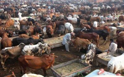 عید قربان قریب، مویشی منڈی میں جانور موجود مگر خریدار بہت کم