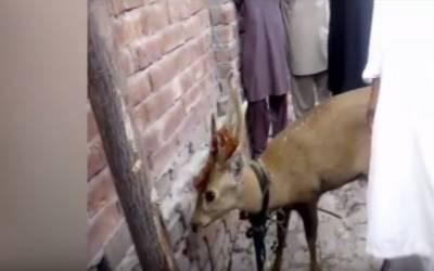 قیصرٹاؤن میں شہری کے گھر نایاب بارہ سنگھا گھس آیا