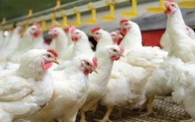 مرغی کے گوشت کی قیمتوں کو پر لگ گئے