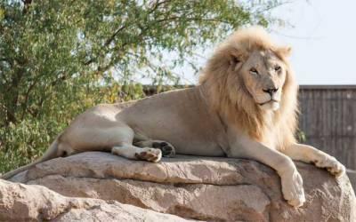 لاہوریوں کیلئے خوشخبری، یو اے ای کے شیروں کی چڑیا گھر آمد