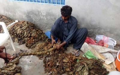 تمباکو کے کاشتکاروں کیخلاف محکمہ ایکسائز کا بڑا فیصلہ
