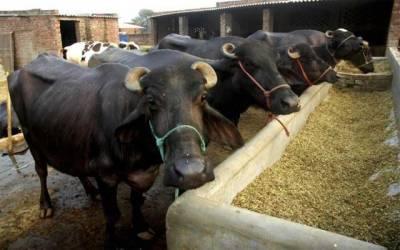خبردار ہوشیار، شہر میں مویشی رکھنے پر پابندی عائد