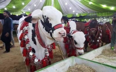 چھٹی کا دن، شہری مویشی منڈی پہنچ گئے