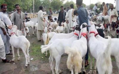 لاہور کی اہم شاہراہیں مویشی منڈیوں میں تبدیل ہوگئیں