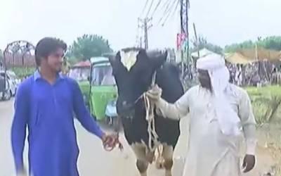 والٹن مویشی منڈی میں کالے ناگ نامی بیل نے دھوم مچادی
