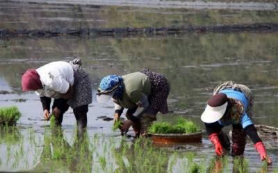 چاول کاشت کرنے والوں کے لیے بڑی خبر
