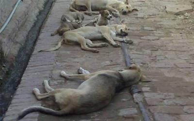مزید 162 آوارہ کتوں کو تلف