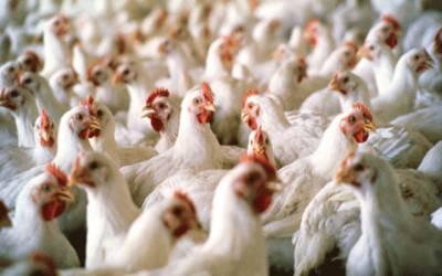 مرغی کی قیمت میں ریکارڈ اضافہ