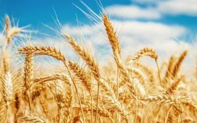 گندم خریداری، گزشتہ10برسوں کا ریکارڈ ٹوٹ گیا