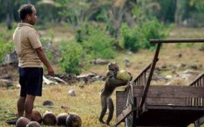 غلام بندروں کی مشقت سے جان چھوٹ گئی ،بڑی پابندی عائد