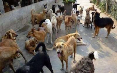 آوارہ کتوں کو ٹھکانے لگانے کیلئے انتظامیہ حرکت میں آگئی