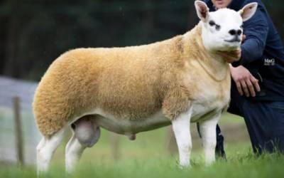 دنیا کی مہنگی ترین بھیڑ 8 کروڑ 22 لاکھ روپے میں فروخت ،خصوصیات کیا ہیں؟