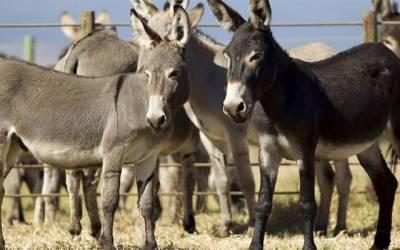پی ٹی آئی حکومت کے 3 سال، گدھوں کی پیداوار میں ریکارڈ اضافہ
