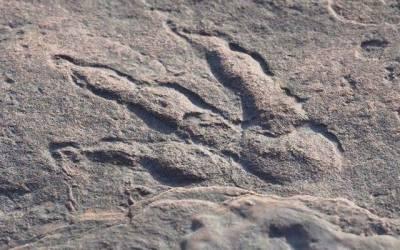 بائیس کروڑ سال پرانے ڈائنوسور کا 'فوسل فٹ پرنٹ' نمائش کیلئے پیش