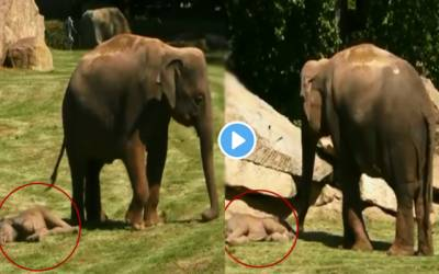 Elephant mother fails to wake her baby up from sleep