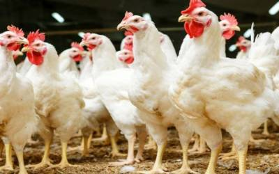 chicken price hike