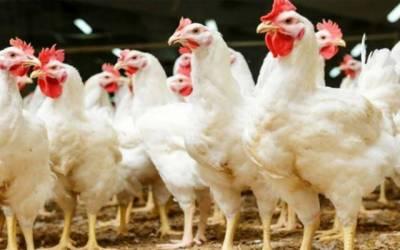 Chicken price
